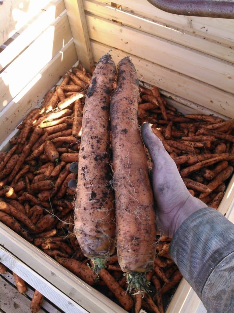 Big carrots!
